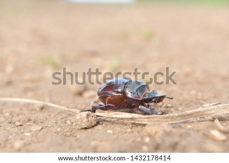 black beetle crawling on soil and grass,Beetles in nature. #1432178414