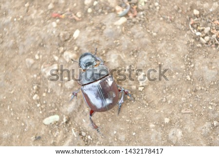 black beetle crawling on soil and grass,Beetles in nature. #1432178417