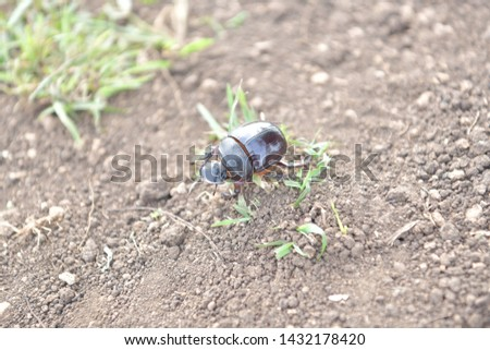 black beetle crawling on soil and grass,Beetles in nature. #1432178420