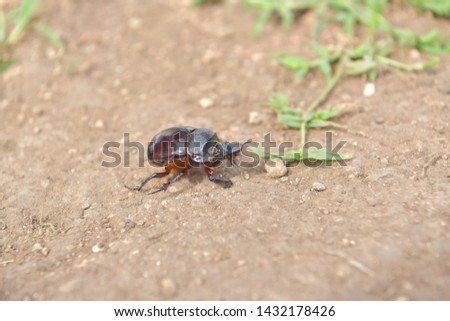 black beetle crawling on soil and grass,Beetles in nature. #1432178426