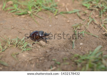 black beetle crawling on soil and grass,Beetles in nature. #1432178432