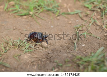 black beetle crawling on soil and grass,Beetles in nature. #1432178435