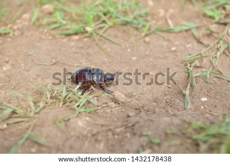 black beetle crawling on soil and grass,Beetles in nature. #1432178438