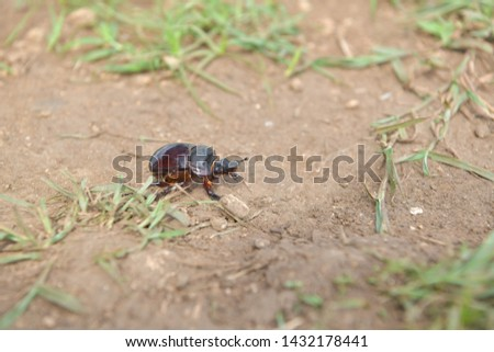 black beetle crawling on soil and grass,Beetles in nature. #1432178441