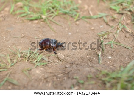 black beetle crawling on soil and grass,Beetles in nature. #1432178444