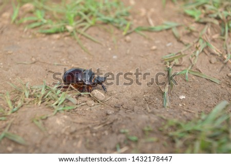black beetle crawling on soil and grass,Beetles in nature. #1432178447