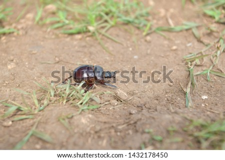 black beetle crawling on soil and grass,Beetles in nature. #1432178450