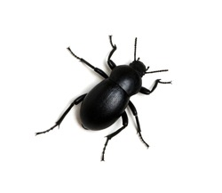 black beetle isolated on white