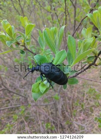 Black beetle of prey #1274126209