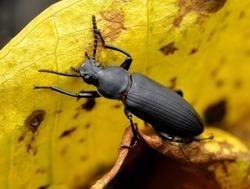 Black beetle on yellow leaf