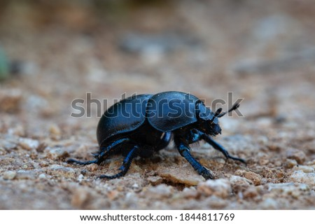 Photo of  black beetle with black chitinous wings runs away from the camera along the ground. black beetle close up. detail in nature. spring fertilizer.