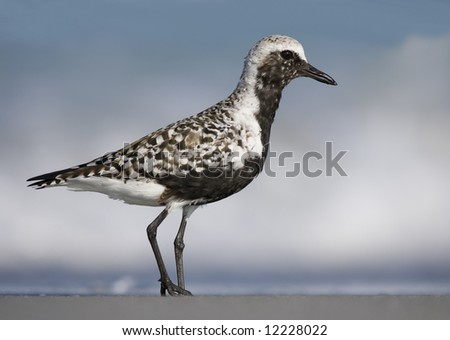 Black-Bellied Plover in breeding plumage.