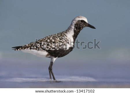 Black-Bellied Plover standing in the surf - stock photo