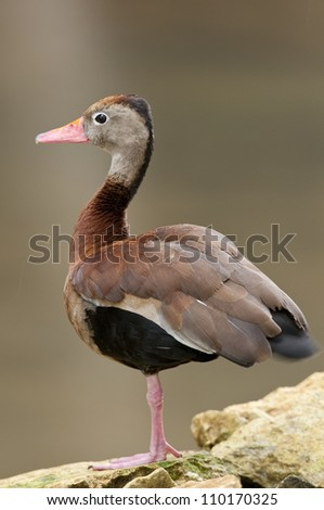 Black-bellied Whistling-Duck (Dendrocigna a. automnalis) standing on rocks at Isla Pacheca shore. Las Perlas Archipelago, Panama province, Panama, Central America.