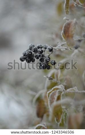 black berries,black berries in the snow,berries in hoarfrost #1243346506