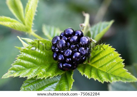 Black berry bush in the garden