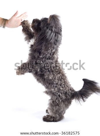 black bichon playing and making his hi five!