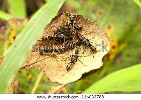 Black big ants protecting eggs