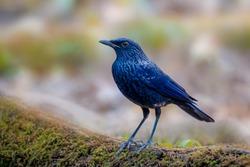 Black-Billed Blue Whistlingthrush bird with shallow blurry background