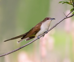Black-billed Cuckoo Perched on Tree Branch
