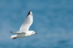 Black-billed Gull Endemic to New Zealand