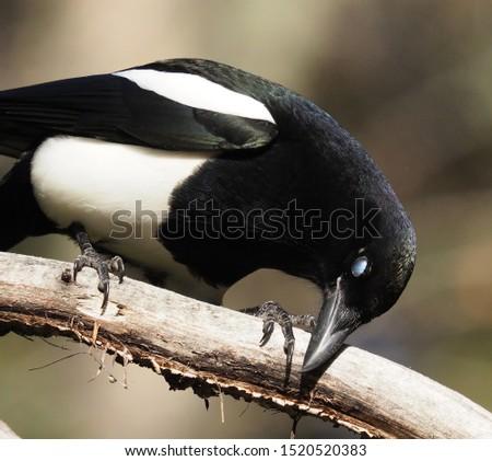 Black Billed Magpie in the Wild Natural Enviroment Birdwatching -EB
