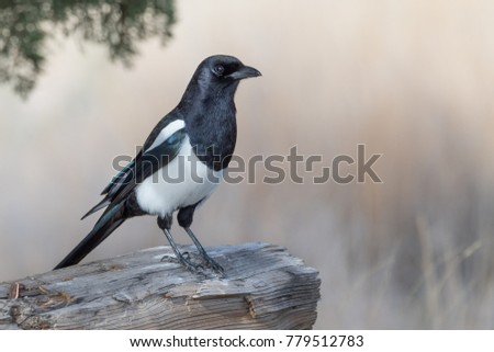 Black-billed Magpie perched on log