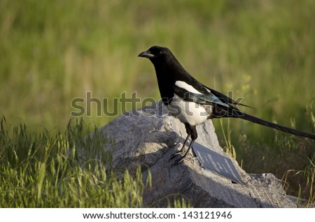 Black-billed magpie rests on a rock in the Okanagan area of British Columbia.