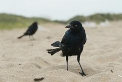 Black bird (Common Grackle) on sandy beach beach