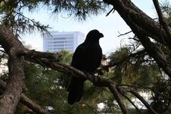 Black bird, crow, in a park in Japan.