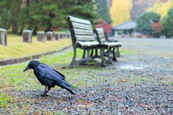 Black bird in autumn park. Raven walks on path of the city garden. Crow is looking for food in the autumn city Kyoto, Japan.