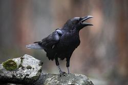 Black bird raven with open beak sitting on the stone.