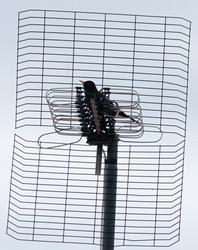 Black bird with orange beak standing on a black TV antenna.