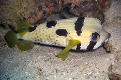 Black blotched Porcupine fish (Diodon Liturosus) swims in the filipino sea December 21, 2011