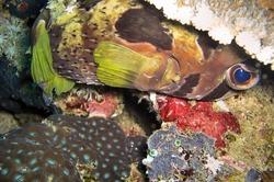 Black blotched Porcupine fish (Diodon Liturosus) swims in the filipino sea December 14, 2011