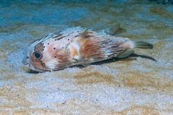 Black-blotched porcupinefish or shortspine porcupinefish (Diodon liturosus) Mindoro, Philippines