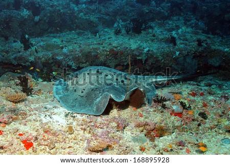 Black-blotched Stingray (Taeniurops Meyeni - aka Black-spotted Stingray, Blotched Fantail Ray, Fantail Stingray, Round Ribbontail Ray) Lying on Reef, Guraidhoo Corner, South Male Atoll, Maldives