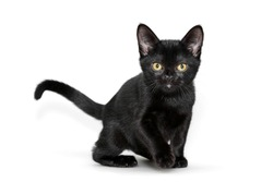 Black Bombay kitten is standing on a white background. Front view.