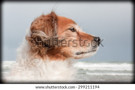 black bordered horizontal landscape portrait of red haired fluffy collie type dog with ears blowing in sea breeze at a beach in Gisborne, East Coast, North Island, New Zealand