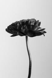 Black botanical Monotone ranunculus flower