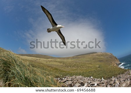 Black-bowed albatross with it's wings fully extended, glides over a grassy hillside populated with other birds.