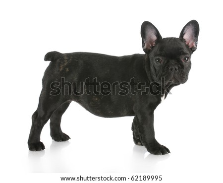 black brindle french bulldog standing with reflection on white background