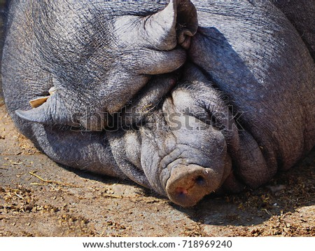 black bristly house pig  #718969240