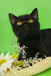 Black British kitten on a green background