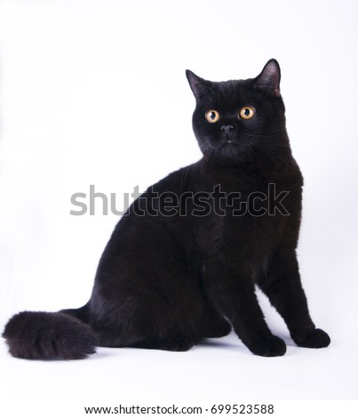 Black british shorthair cat kitty on white background