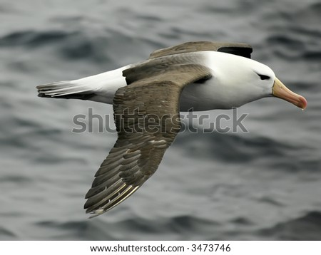 Black-browed albatross #3473746