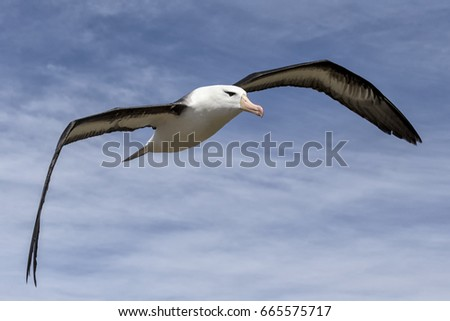 Black browed Albatross #665575717