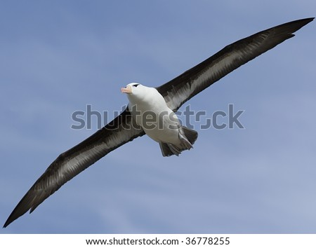 Black-browed albatross (Diomedea melanophris) flying near Saunders Island, Falkland Islands
