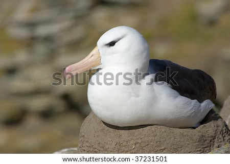 Black-browed albatross (Diomedea melanophris) on its nest on the Falkland Islands