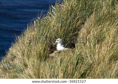 Black-browed albatross (Diomedea melanophris) on nest in the tussock grass on Saunders Island, Falkland Islands